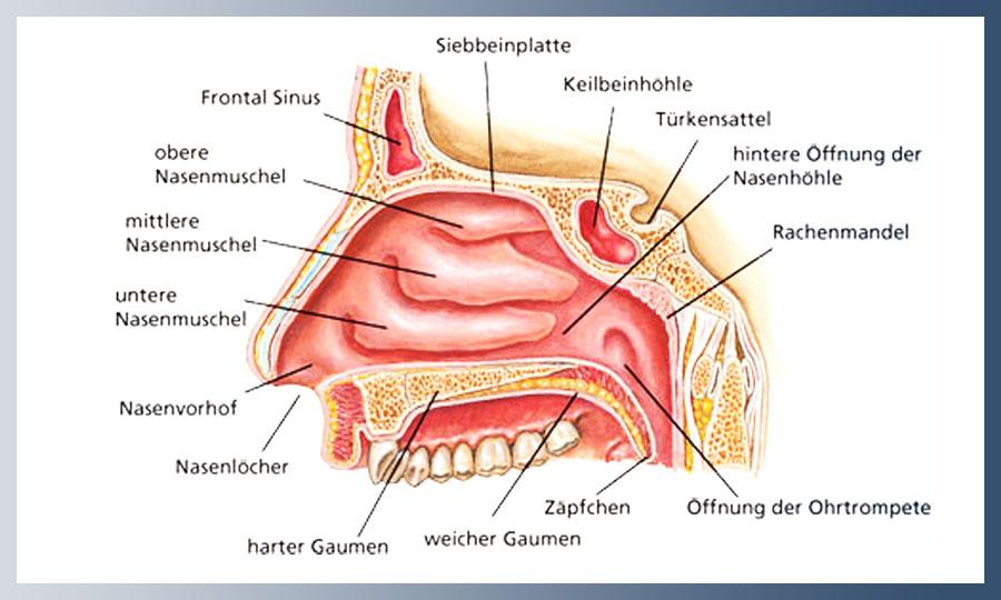 Anatomie des Halses | HNO-NETZ ESSEN